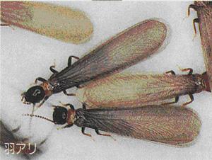 シロアリの画像 p1_2